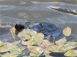 Sumpfschildkröte (Emys orbicularis) schwimmt