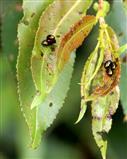 Kleine Weidenblattkäfer (Phratora vitelliceae) vermehren sich