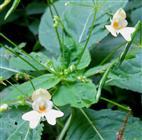 Kleinblütiges Springkraut (Impatiens parviflora)