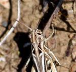 Verkannter Grashüpfer (Corthippus mollis) nah