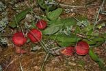 Apfel-Täublinge (Russula paludosa)