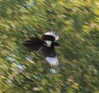 Elster in rasantem Flug
