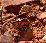 Roter Scheckenfalter (Melitaea didyma)