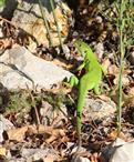 Smaragdeidechse (Lacerta bilineata) prüft die Situation