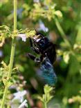Holzbiene (Xylocopa spec.) müht sich an Thymianblüte
