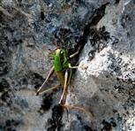 Grüne Strauchschrecke (Eupholydoptera chabrieri), weiblich