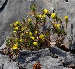 Gelbe Hauhechel (Ononis natrix)
