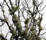 Toter Baum von Flechten besiedelt