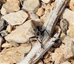 Raubfliege (Asilidae spec.)