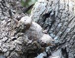 Der extrem seltene Pinienbär (Teddyursus pinicola)