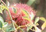 Frische Galle der Rosengallwespe (Diplolopis rosae)