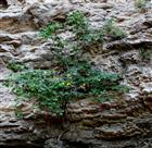 Feigenbaum als free climber