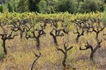 Tanz der Weinstöcke