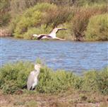 Flamingo fliegt über Graureiher