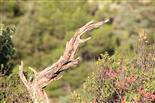 Zorniger Baumdrache (Arbosaurus iracundus) in typischer Haltung