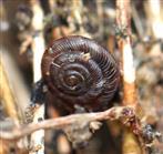 Braune Schüsselschnecke (Discus ruderatus)
