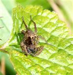 Pardosa amentata (?) in Lauerstellung