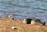 Flussuferläufer (Actitis hypoleucos) wundert sich
