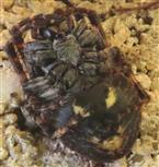 Totstellreflex der Spaltenkreuzspinne (Araneus umbricatus)