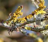 Wand-Gelbflechte (Xanthoria parietina) und Lippen-Schüsselflechte  (Hypogymnia physodes) vergesellschaftet