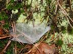 Kleines Trichternetz (wahrscheinlich Cicurina cicur)
