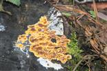 Orangefarbiger Kammpilz (Phlebia merismoides)