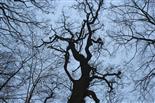Winterwald mit tanzender Eiche