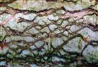Birkenast - Muster II