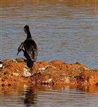 Auch für Deutschland nachgewiesen: Der zweiköpfige Kormoran (Phalacocorax bicephalus)