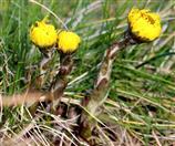 Huflattich (Tussilago farfara) blüht auf