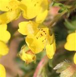 Gold - Hahnenfuß (Ranunculus auricomus agg.)