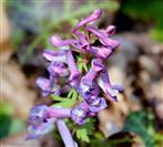 Lerchensporn (Corydalis spec.)