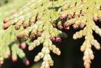 Männliche Blüten des Thujabaumes