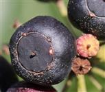 Efeu-Frucht