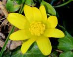 Scharbockskraut (Ranunculus ficaria)