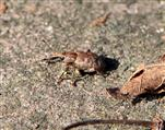 Rüsselkäfer (Graptus triguttatus)