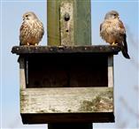 Turmfalkenpaar (Falco tinnunculus) auf dem Dach seiner Wohnung