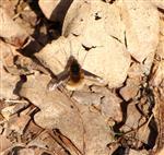 Wollschweber (Bombylius major) wärmt sich in der Abendsonne