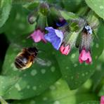 Pelzbiene (Anthophora plumipes)