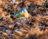 Blaumeise holt Nistmaterial (Tierhaare)