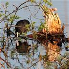 Blässralle untersucht Ufersaum
