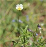 Acker-Stiefmütterchen ((Viola arvensis)