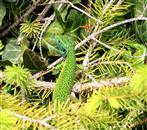 Smaragdeidechse Mann