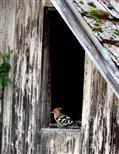 Wiedehopf sucht Schutz vor Regen