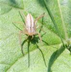 Tibellus maritimus oder T. oblongatus