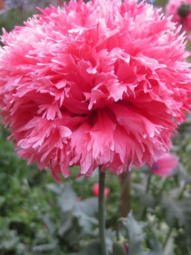 Rosa Fransenmohn, gefüllt