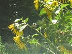 Sumpfmeise erntet Sonnenblumen