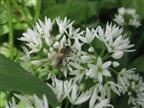 Biene auf Bärlauch
