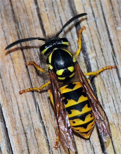 Deutsche Wespe (Paravespula germanica) in Rückenansicht