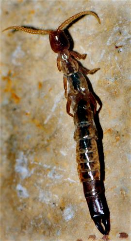 Zangenschwanz (Metajapyx braueri)